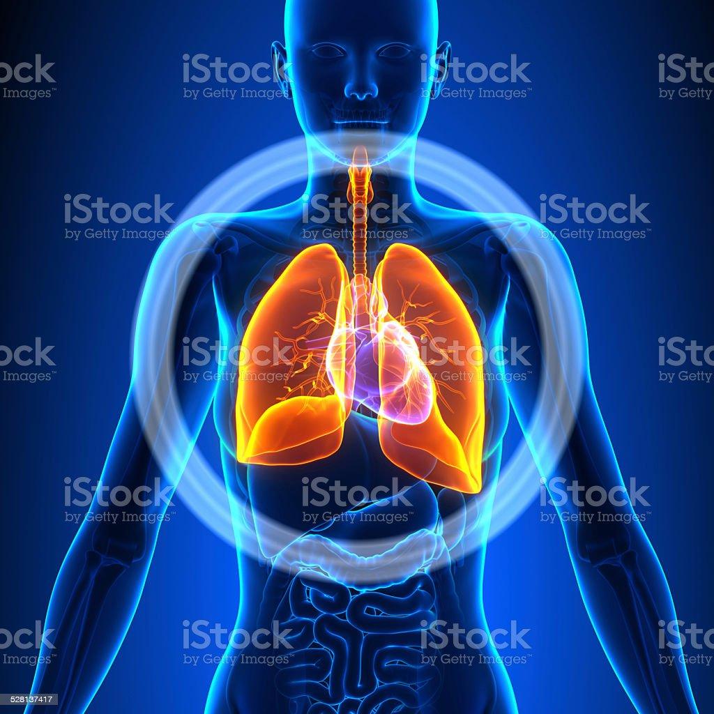 Lungenweibliche Organe Anatomiemenschliche Stock-Fotografie und mehr ...