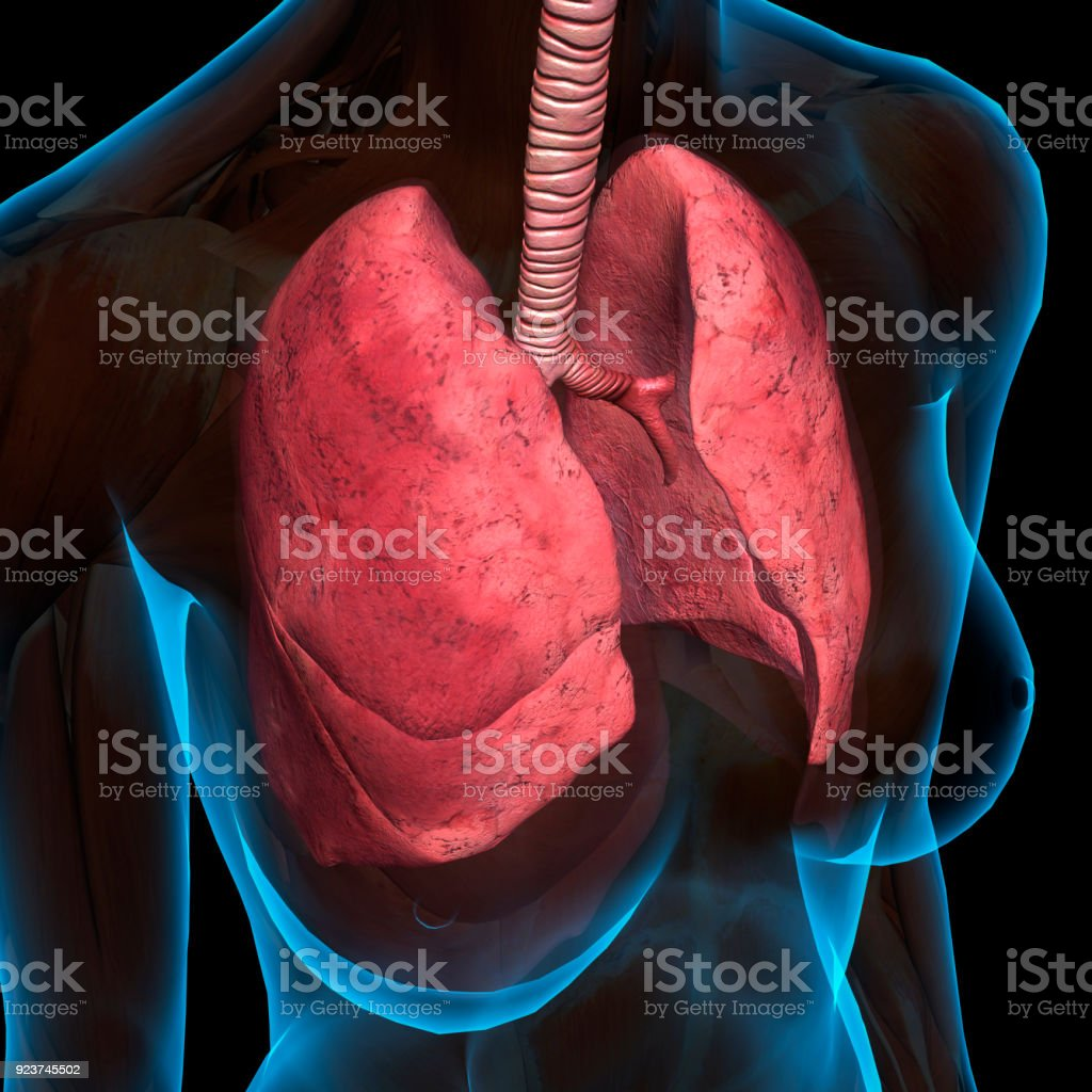 Lungs In Female Chest Anatomy Stock Photo More Pictures Of