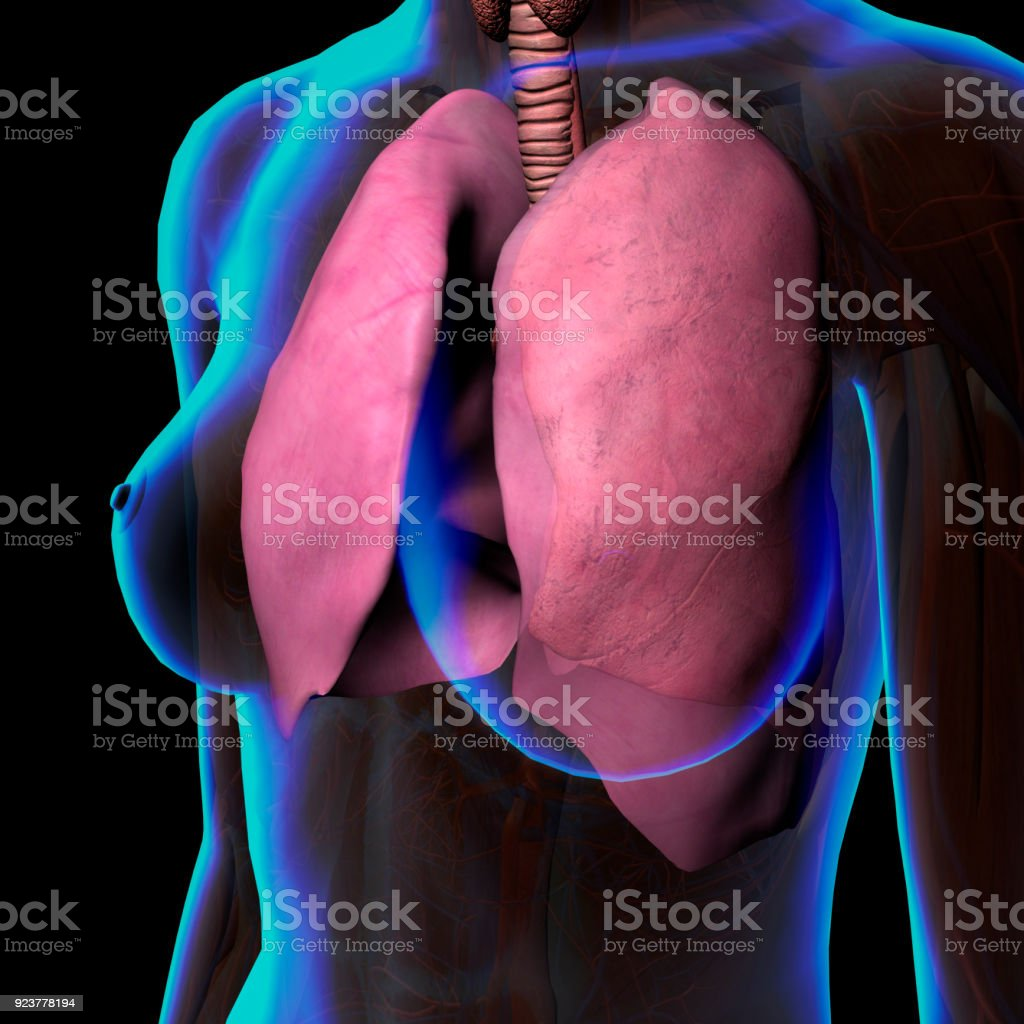 Lungs In Female Chest Anatomy Stock Photo & More Pictures of ...