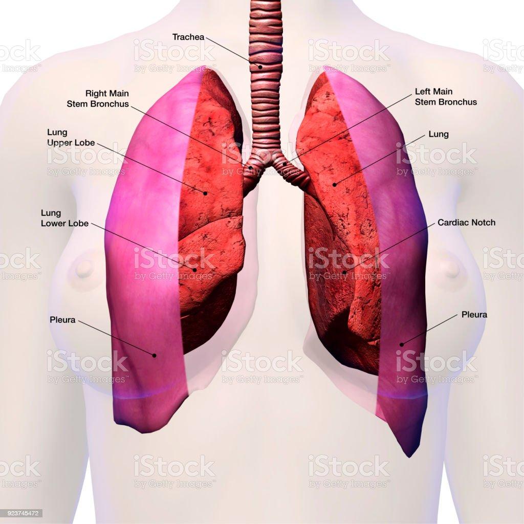 Los Pulmones En El Pecho Femenino Marcada Anatomía - Fotografía de ...