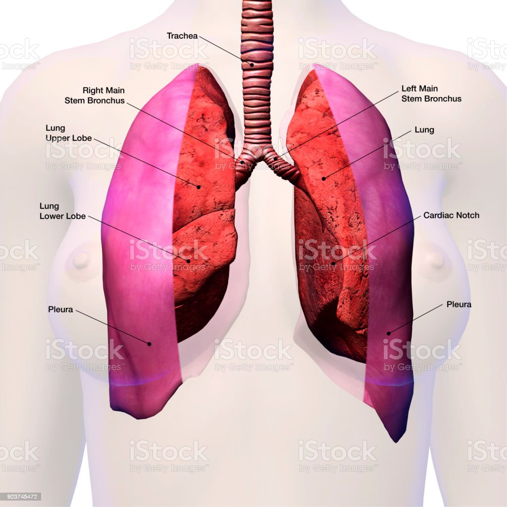 Lungs in Female Chest Labeled Anatomy stock photo