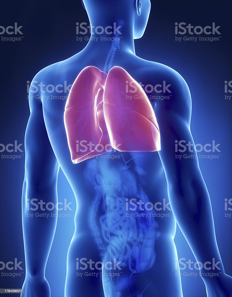 Lungs Male Anatomy Back View Stock Photo & More Pictures of Adult ...