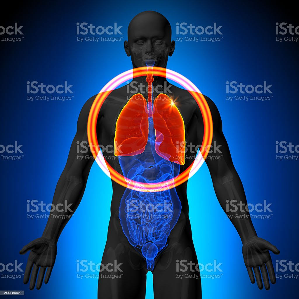 Lungs Male Anatomy Of Human Organs Xray View Stock Photo More