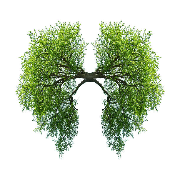 lungs green tree lungs isolated on white lung stock pictures, royalty-free photos & images