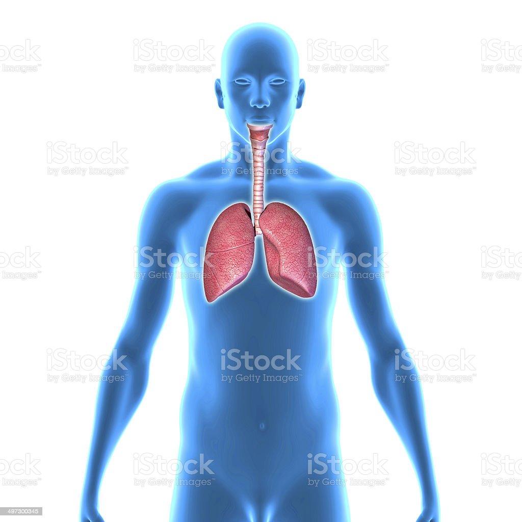 Pulmones - Foto de stock de Anatomía libre de derechos