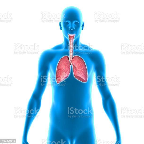 Pulmones Foto de stock y más banco de imágenes de Anatomía