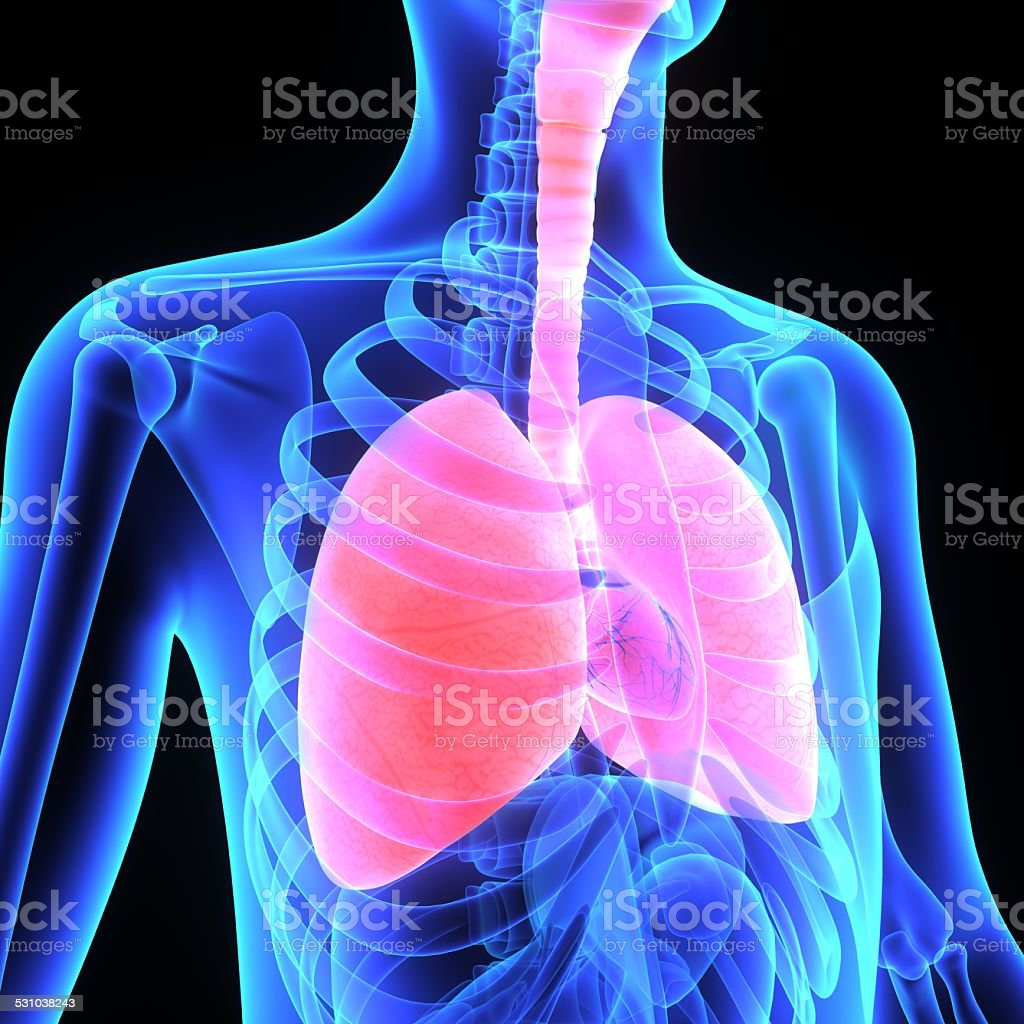 Lungs stock photo