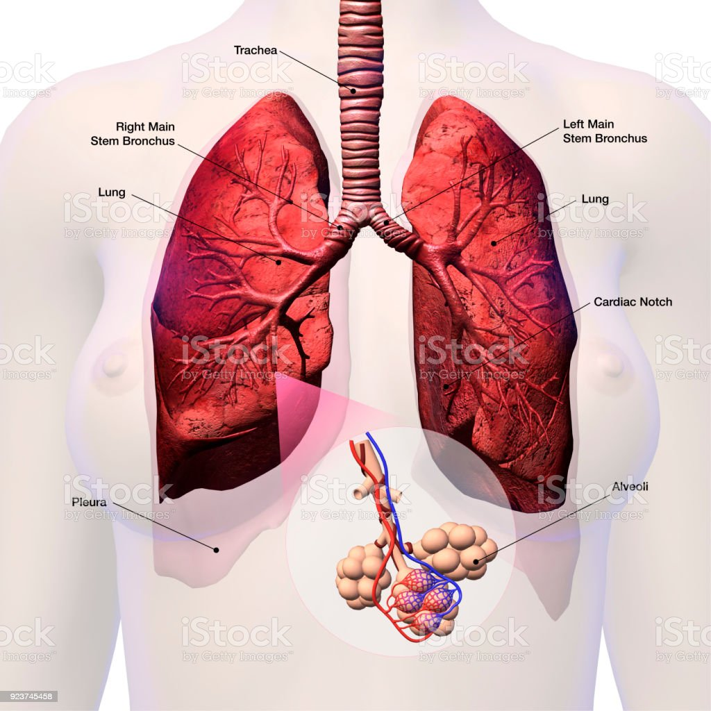 Lungs With Alveoli Labeled Stock Photo More Pictures Of Alveolus
