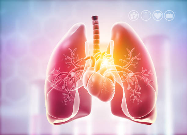 Lungs,Heart Anatomy Lungs,Heart Anatomy. 3d illustration lung stock pictures, royalty-free photos & images