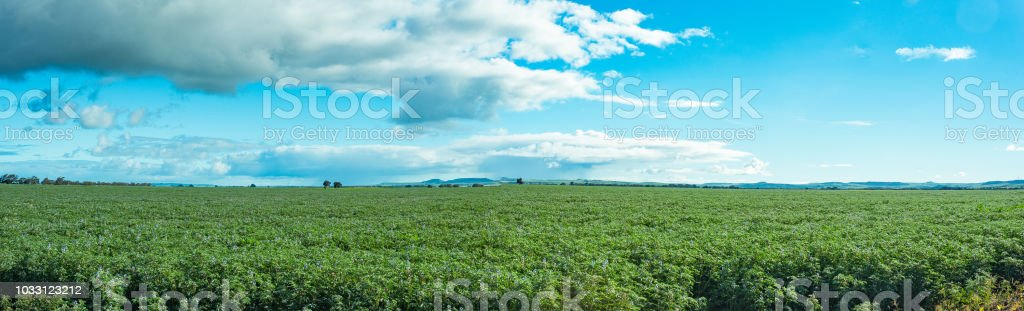 Lupin crop landscape panorama, a mass of green and purple flowers appearing as a vast green hedge with a cloudy sky. stock photo