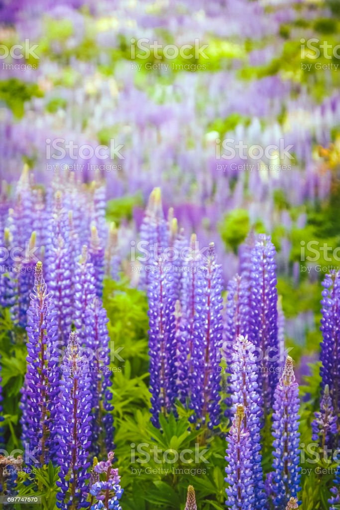 Lupin Field in Patagonia stock photo