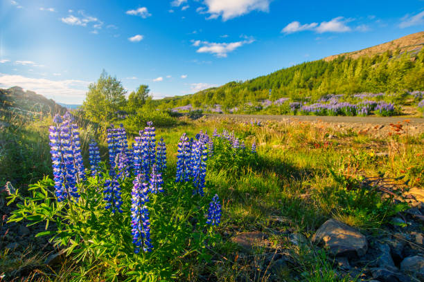 lupin plant by the road under blue cloudy sky on iceland stock photo