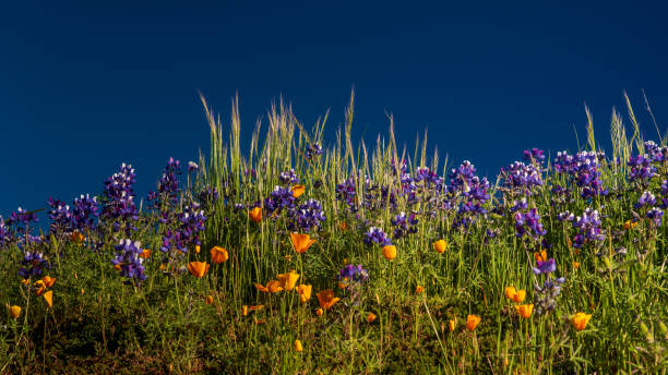 Lupine and california poppy against the blue sky stock photo