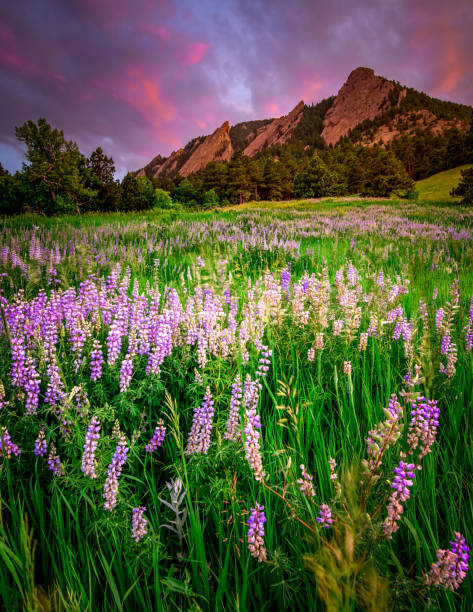 Lupine at Boulder Flatirons stock photo