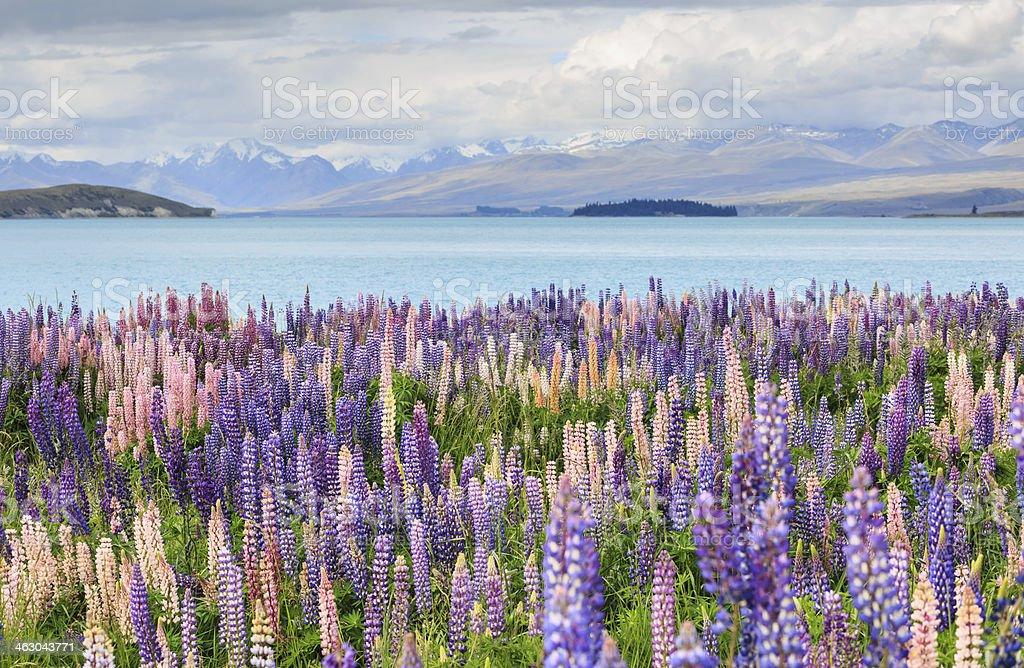 Lupine field lake tekapo stock photo