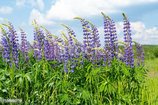 Lupine field with pink purple and blue flowers. Bunch of lupines summer flower background.