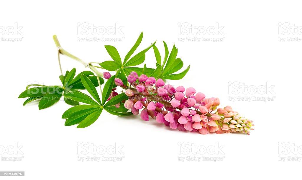 lupine flor, Aislado en blanco - foto de stock