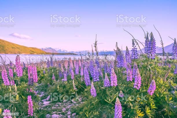 Photo of Lupine flowers blooming in lake tekapo
