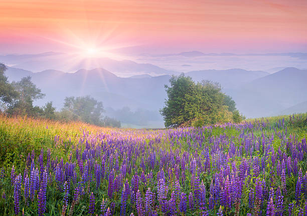 Lupine flowers in dew on the meadow picture id464309827?b=1&k=6&m=464309827&s=612x612&w=0&h=penme5zxpjyytztajpc28tzvkqulbeg0p0v6c ggguw=