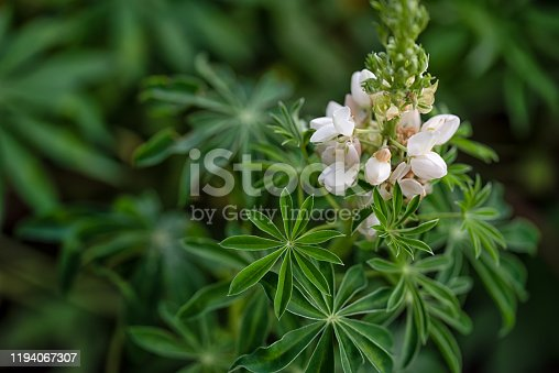 Lupine green star shaped leaves with white flower