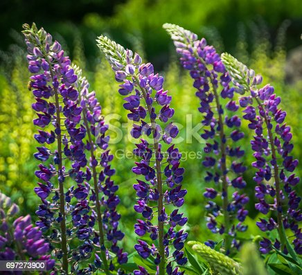 Tall stalks of lupine flowers bend with the force of a late spring breeze