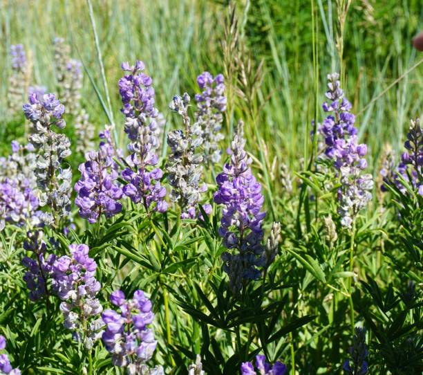 Lupine in the mountains stock photo
