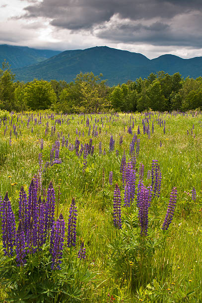 """Lupine in the Valley """"Under stormy skies, a field of purple lupine extend across the valley to the White Mountains of New Hampshire beyond"""" white mountains new hampshire stock pictures, royalty-free photos & images"""