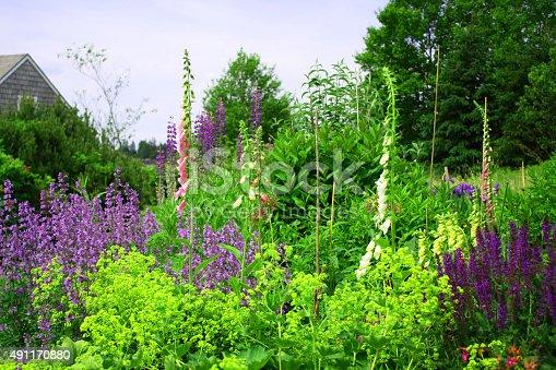 Lupine in a Wildflower Garden on the Maine Coast