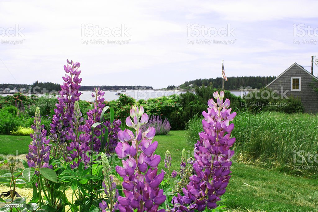 Lupine on the Maine Coast stock photo