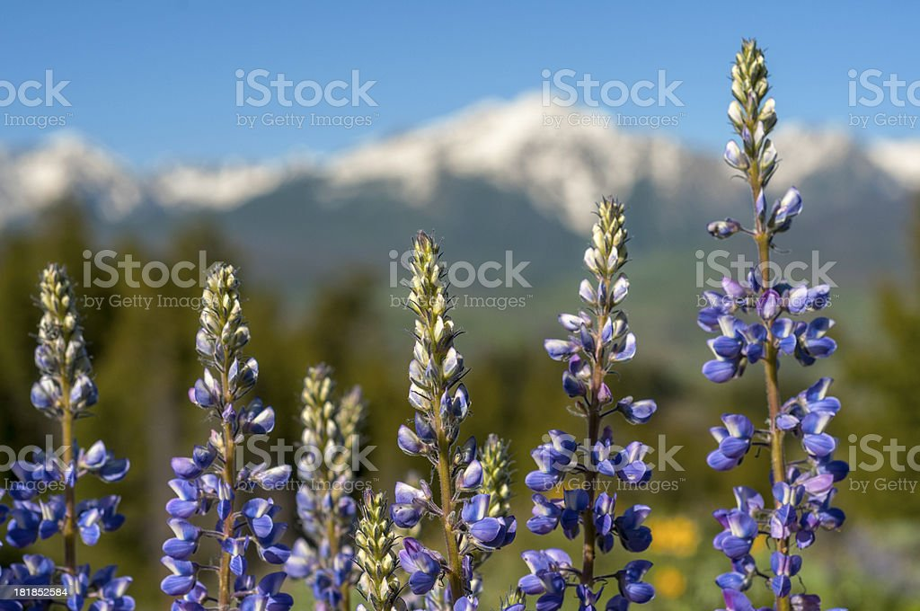 Lupine royalty-free stock photo
