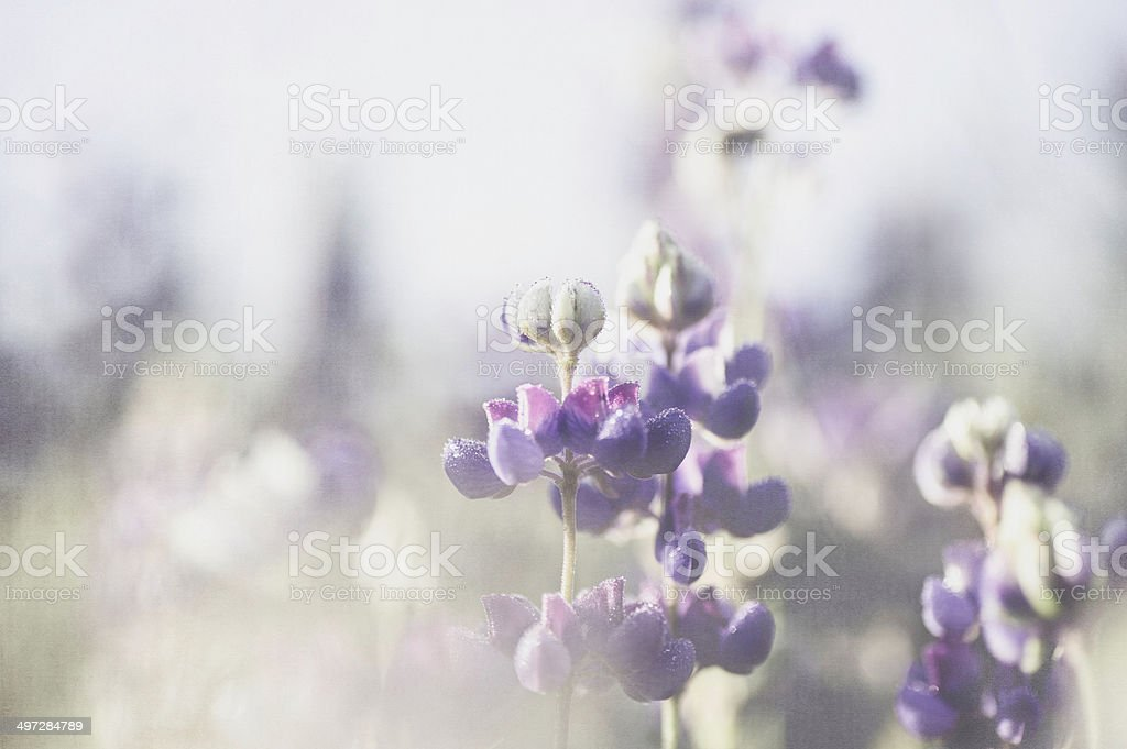 Lupine stock photo