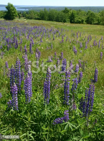 Lupine brightens a slope on the Maine coast.