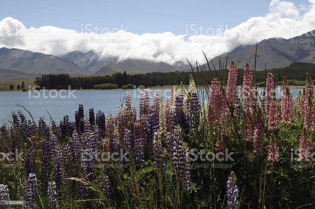 Lupines along the lake. royalty-free stock photo
