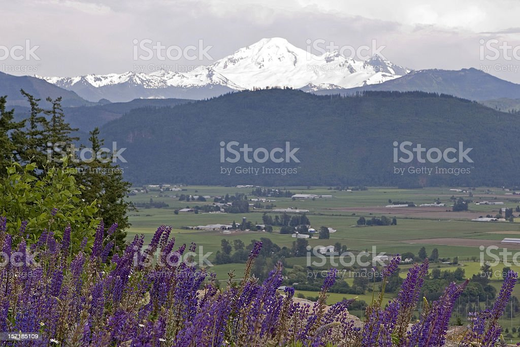 Lupines and snow covered mountain stock photo