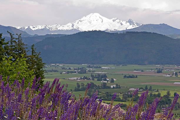 lupines et montagne recouverte de neige - mont baker photos et images de collection