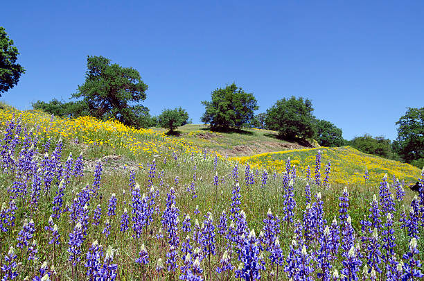Lupines, California Poppies, and Oak Trees stock photo