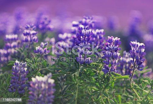 Lupine is a genus of flowering plants in the legume family Fabaceae. Lupines are changing the color of Iceland's countryside.