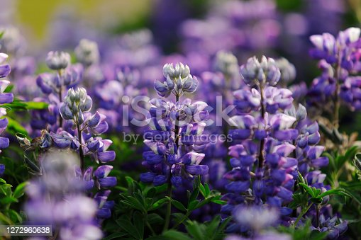 istock Lupines of Iceland 1272960638