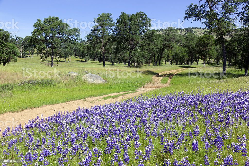 Lupines on Country Landscape stock photo