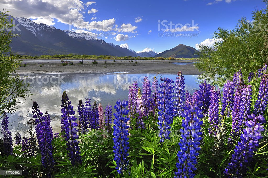 Lupines on the shore of Rees River, Glenorchy, New Zealand stock photo