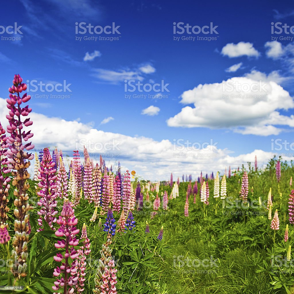 Lupins and beautiful sky royalty-free stock photo