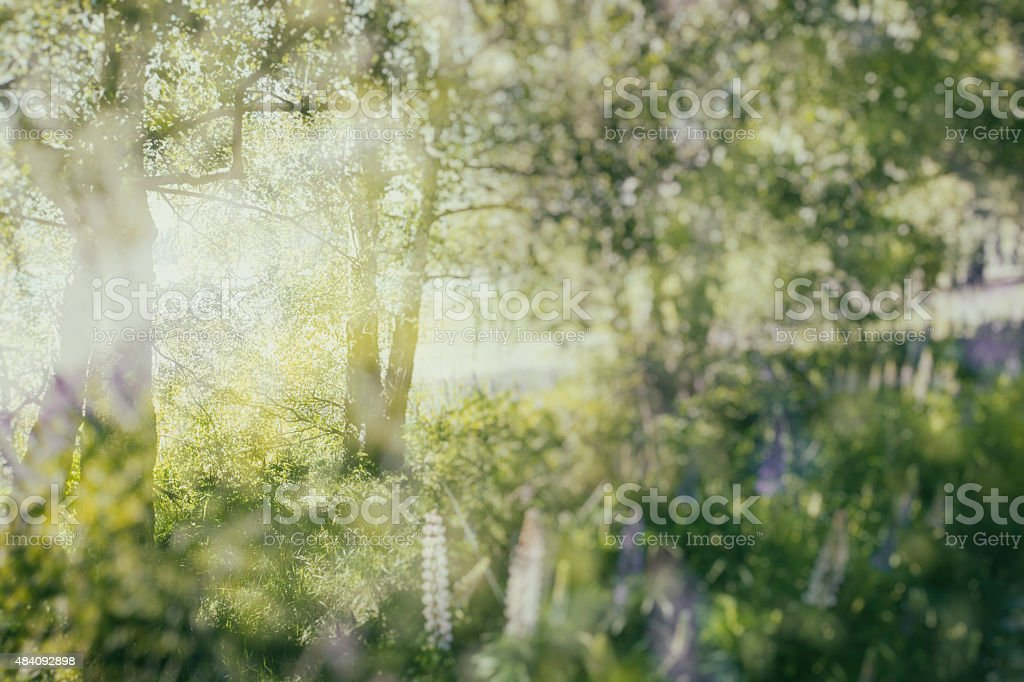 Lupins and Birch stock photo