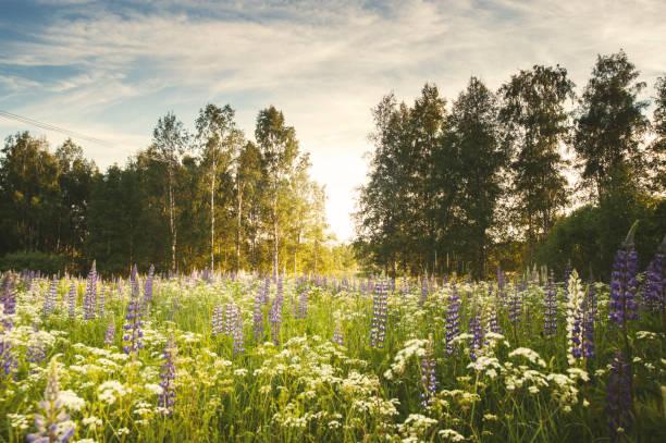 lupiner i solljus - summer sweden bildbanksfoton och bilder