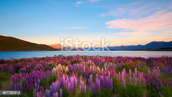 Morning sun lights up lupins growing next to Lake Tekapo, on New Zealand's South Island.