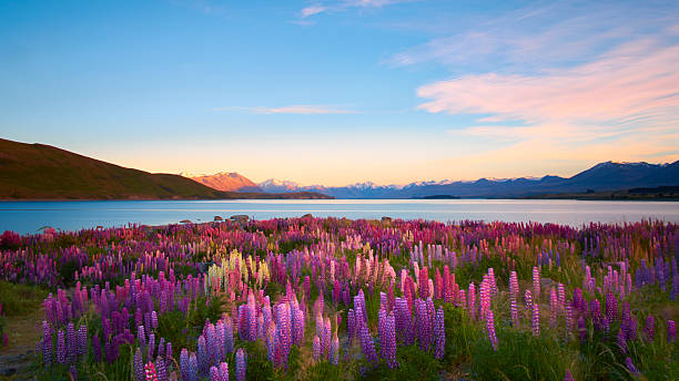 Lupins Of Lake Tekapo bildbanksfoto