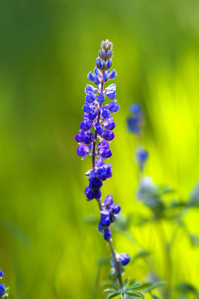 Lupinus Nanus or Sky Lupine plant growing in Utah, selective focus, natural background stock photo