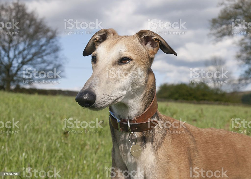 Lurcher portrait stock photo