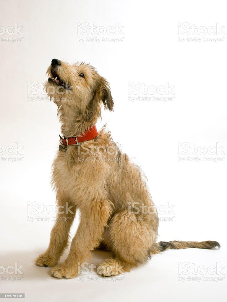 Lurcher pup stock photo