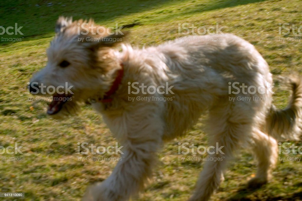 Lurcher Puppy Dog Running Stock Photo More Pictures Of Animal Istock