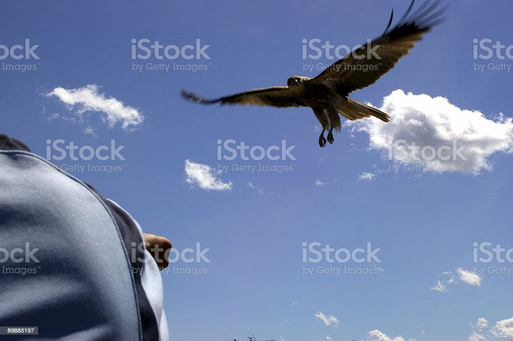 Luring a raptor royalty-free stock photo